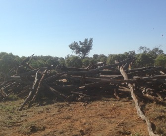 Gidgee Wood collected for charcoal production